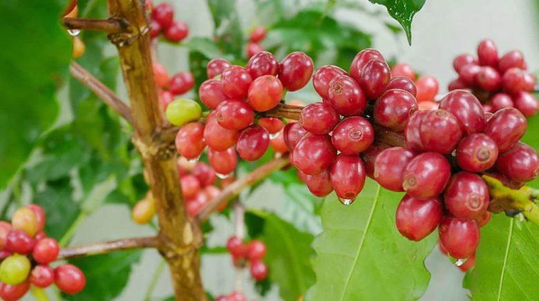 Arabica Kahve Nedir, Arabica Kahvesi Nerede Yetişir,  %100 Arabica Kahve Ne Demek, arabica kahvesi çekirdeği, arabica robusta nedir