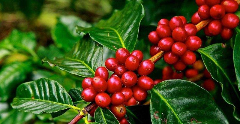 robusta kahve